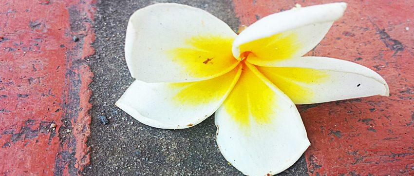 Eine Frangipaniblüte auf dem Asphaltboden